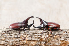 Fighting beetle. Close up fighting beetle or Siamese rhinoceros on small log Royalty Free Stock Photos