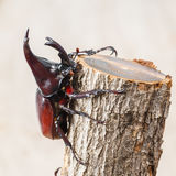 Fighting beetle. Close up fighting beetle or Siamese rhinoceros on small log Stock Photos