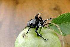 Fighting beetle (rhinoceros beetle) on guava fruit, Stock Images