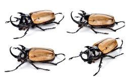 fighting beetle (rhinoceros beetle) Stock Photos