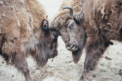 Fighting bison Royalty Free Stock Photo