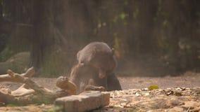 Fighting black bears. Two black bears fighting stock footage