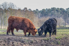 Fighting black and brown scottish highlander cow and bull Royalty Free Stock Photos