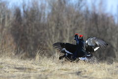 Fighting Black Grouse Stock Photo