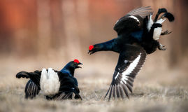 Fighting Black Grouse ( Lyrurus tetrix) Royalty Free Stock Photo