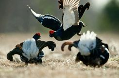 Fighting Black Grouse Stock Image
