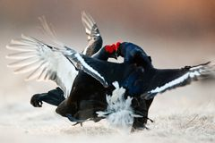 Fighting Black Grouse Stock Photos