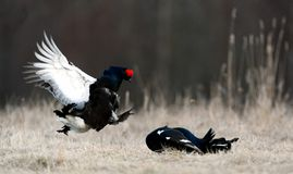 Fighting Black Grouse Stock Images