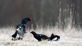 Fighting Black Grouse Stock Photography