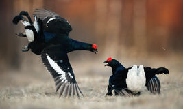 Fighting Black Grouse Royalty Free Stock Images