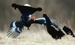 Fighting Black Grouses Stock Images