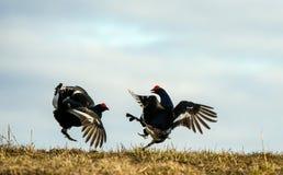 Fighting Black Grouses ( Lyrurus tetrix). Springtime - Mating season. Royalty Free Stock Photos
