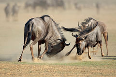 Fighting blue wildebeest. Two blue wildebeest Connochaetes taurinus fighting for territory, Kalahari desert, South Africa stock photography