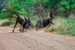 Fighting Blue wildebeest royalty free stock images
