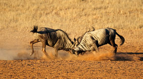 Fighting blue wildebeest Stock Images