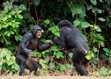 Fighting Bonobos ( Pan paniscus). At a short distance, close up. Stock Photos