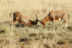 Fighting Bontebok Stock Photography