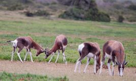 Fighting Bontebok Stock Photos