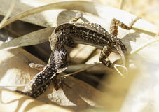 Fighting brown anoles Royalty Free Stock Images