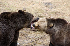 Fighting brown bear Royalty Free Stock Photo