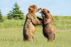 Fighting Brown Bears. Two Young Immature Alaskan Coastal Brown Bears Play Fighting Stock Photos