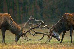 Fighting bucks. Red deer stags fighting on a meadow royalty free stock photo