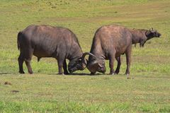Fighting Buffalo. Buffalo fighting to establish dominance Royalty Free Stock Image
