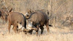 Free Fighting Buffalos Stock Image - 10455131