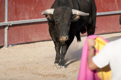 Fighting bull Royalty Free Stock Photo