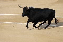 Fighting bull Stock Photos