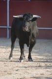 Fighting bull Stock Images