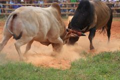 Fighting bull. Royalty Free Stock Images