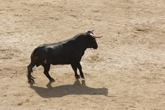 Fighting bull in the arena. Bullring. Toro bravo. Spain Stock Photos