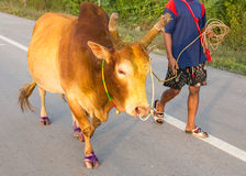 Fighting bull. With caretaker walking in the morning Stock Images