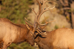 Fighting Bull Elk Close Up. A pair of bull elk fighting for dominance during the fall rut Royalty Free Stock Photo