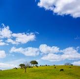 Fighting bull grazing in Extremadura dehesa Stock Photos
