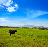 Fighting bull grazing in Extremadura dehesa Royalty Free Stock Photos