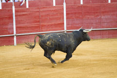 Fighting bull picture from Spain. Black bull Stock Images