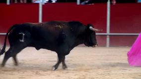 Fighting bull picture from spain. black bull stock video