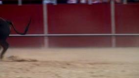 Fighting bull picture from spain. black bull stock video