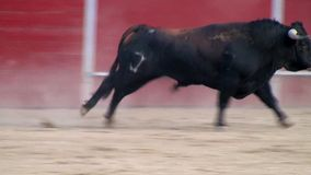 Fighting bull picture from spain. black bull stock footage