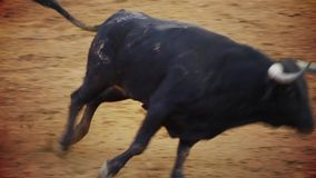 Fighting bull picture from spain. black bull stock video footage
