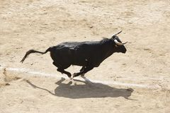 Fighting bull running in the arena. Bullring. Toro bravo stock photo