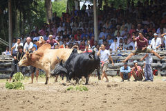 Fighting bull,Thailand Stock Photos
