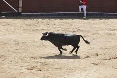 Fighting bulls in the arena. Bullring. Toro bravo. Spain stock photo