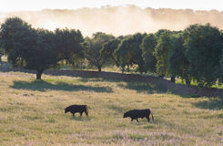 Fighting Bulls breed free-range Royalty Free Stock Images