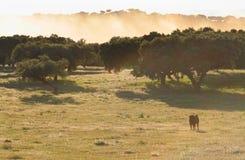 Fighting Bulls breed free-range Stock Photos
