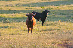 Fighting Bulls breed free-range Royalty Free Stock Images