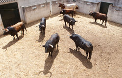 Fighting bulls on the courtyard Royalty Free Stock Photo
