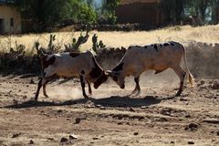 Fighting Bulls. Two fighting bulls in a rural area in Africa Royalty Free Stock Photography